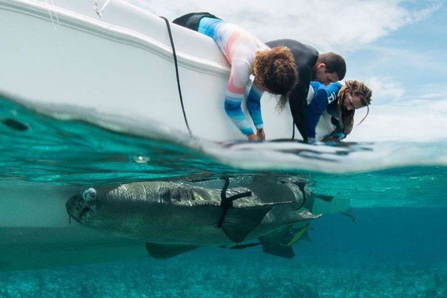Tracking a nurse shark